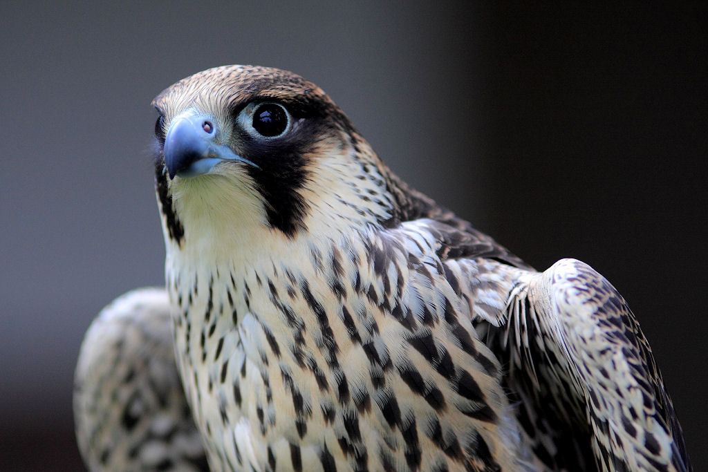 Peregrine Falcon Wingspan The Peregrine Falcon is Pretty Cool Due to Being The Fastest Animal on The